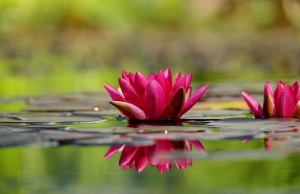 water-lily-1442497_960_720